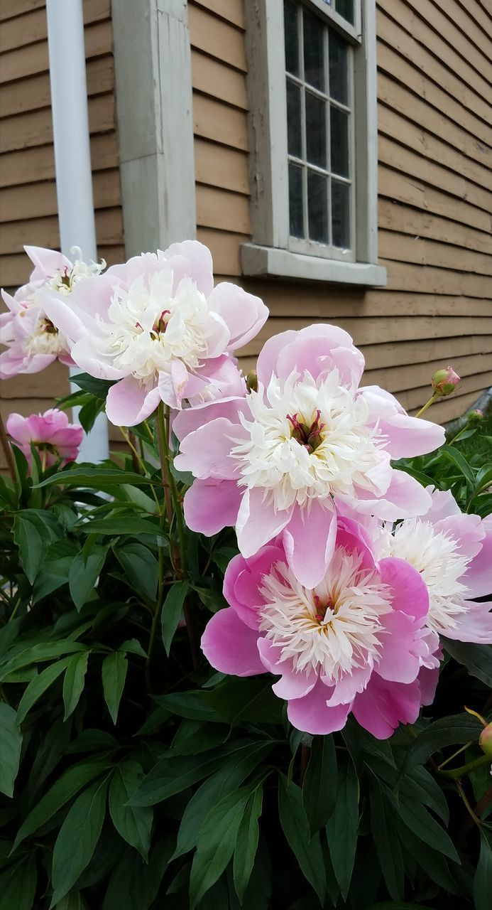 flower, flowering plant, plant, freshness, beauty in nature, petal, pink color, fragility, vulnerability, inflorescence, building exterior, flower head, built structure, growth, nature, architecture, close-up, no people, day, building, outdoors