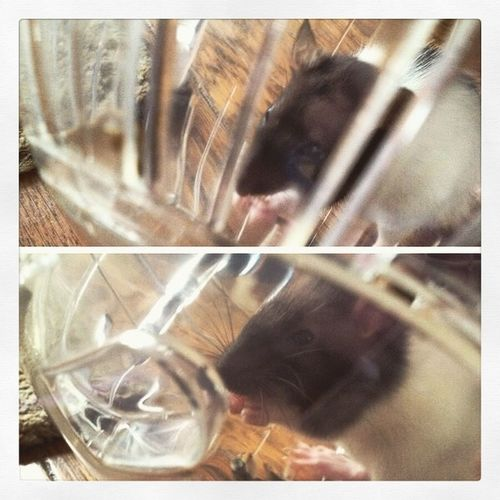 Random Feeling Good My Baby Rat Pets Furbaby Happiness Love Oogieboogie Rollin