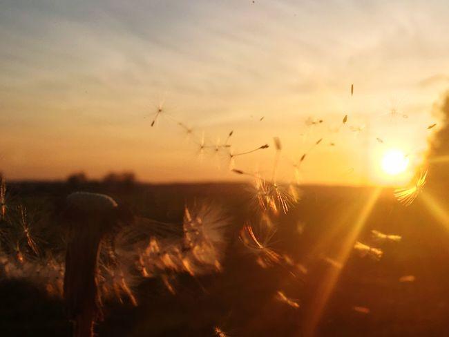 Sunset Pusteblume Beauty In Nature