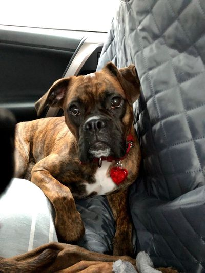 Close-up portrait of dog sitting on car