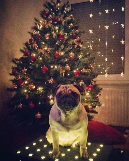 Lulú's ready for Christmas.. LuLu Luluthepug Mops Carlino Pug Puglife Pugsofinstagram Lazy Dogsofinstagram Puppy Puglove  Puglife Pugstagram Pet Christmas Natale  Božic
