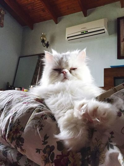 Persiancat Relaxing Paws Whitecat Fluffy