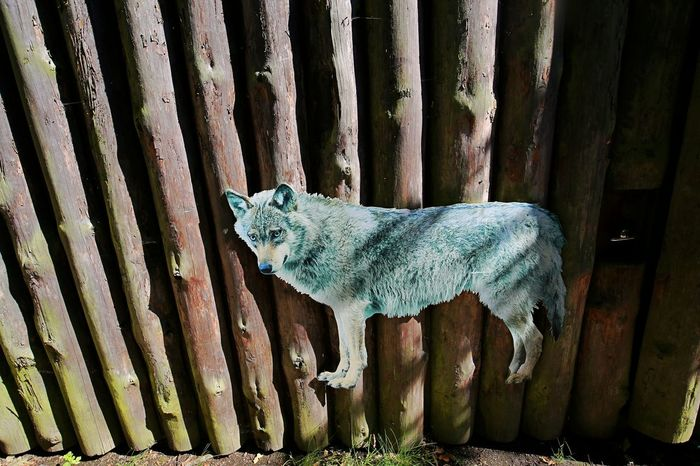 Pretending Wooden Fence Animal Themes Beware The Wolf Day Dummy Mammal No People Outdoors Wolf´s Dummy Pet Portraits