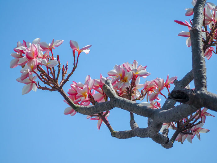 White and pink petal of plumeria flower and branch on the cleary blue sky background Pink White Flora Floral Garden Nature Plumeria Tree Flower Branch Springtime Clear Sky Blue Sky Plant Life Blooming Blossom Petal Botany Pollen