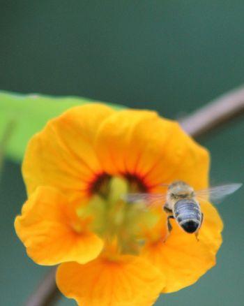 H Insecta Insect Photo Sommer Hello World! Nectar Fleissig Hi No People Sachsen Blütenstaub Honigbiene Honigbienchen Biene Maja Biene Im Anflug🌾 Hi! Hello EyeEm Summer Fleissige Biene Nature Flower
