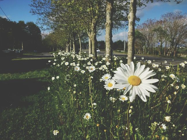 Flower Nature Growth Freshness Beauty In Nature Outdoors Tree Grass Yellow No People Summer Park - Man Made Space Tranquility Springtime Flower Head Fragility Flowerbed Day Sky Close-up Spring Flowers Spring Spring Has Arrived Spring Into Spring Spring 2017