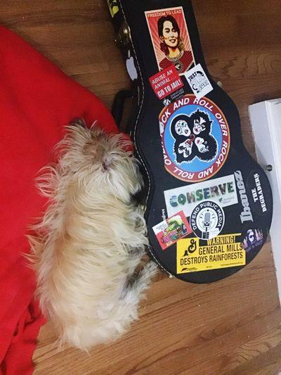 Dog And Guitar Sleeping Dog And Guitar Christmas Domestic Pets One Animal Animal Domestic Animals Animal Themes High Angle View Dog Canine