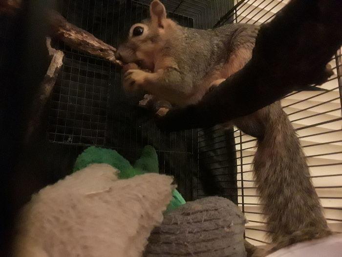 Britches, rescuedwildlife, squirrel Growth Naturelovers Loving Life! Mammal Rescue Squirrel Indoors  Close-up Young Adult