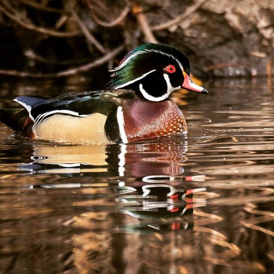 A male Woodduck in yesterday's great light at the pond. Utah Experienceutah Igbirds Igutah Igducks Nature Lovers Instagrambirds Igbirders Nature Nature_shooters Wowutah Utahgram Utahbirders Nawild