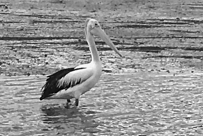 Bnw_collection Tropical Birds Pelican Bird Animals In The Wild Animal Wildlife Animal Themes Animal One Animal Water Bird Water Beach