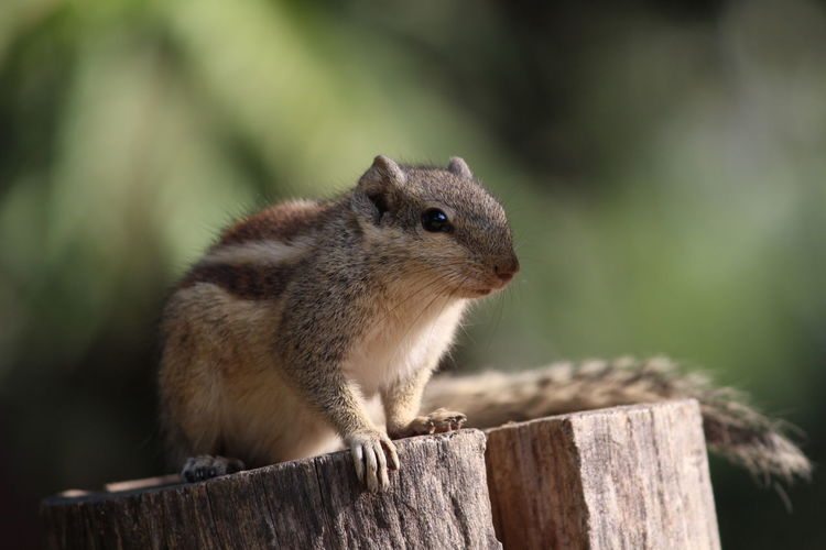 Close-up of chipmunk on wood