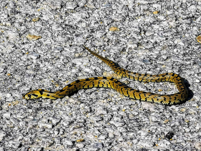 High angle view of yellow lizard on rock