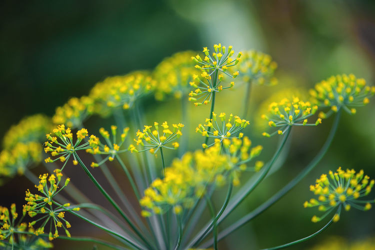 Diet Dill Herb Vegetarian Food Vitamine Beauty In Nature Blooming Close-up Day Delicate Flower Flower Head Food Fragility Freshness Garden Growth Nature No People Outdoors Plant Tranquility Vegan Food Vitamin Yellow Food Stories