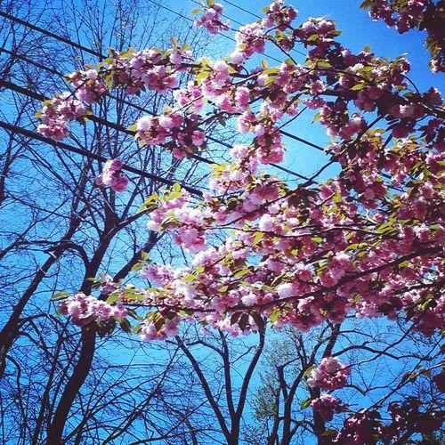Cherryblossoms Trees Branch Sky Bluesky Flowers Springtime Spring EyeEmNewHere