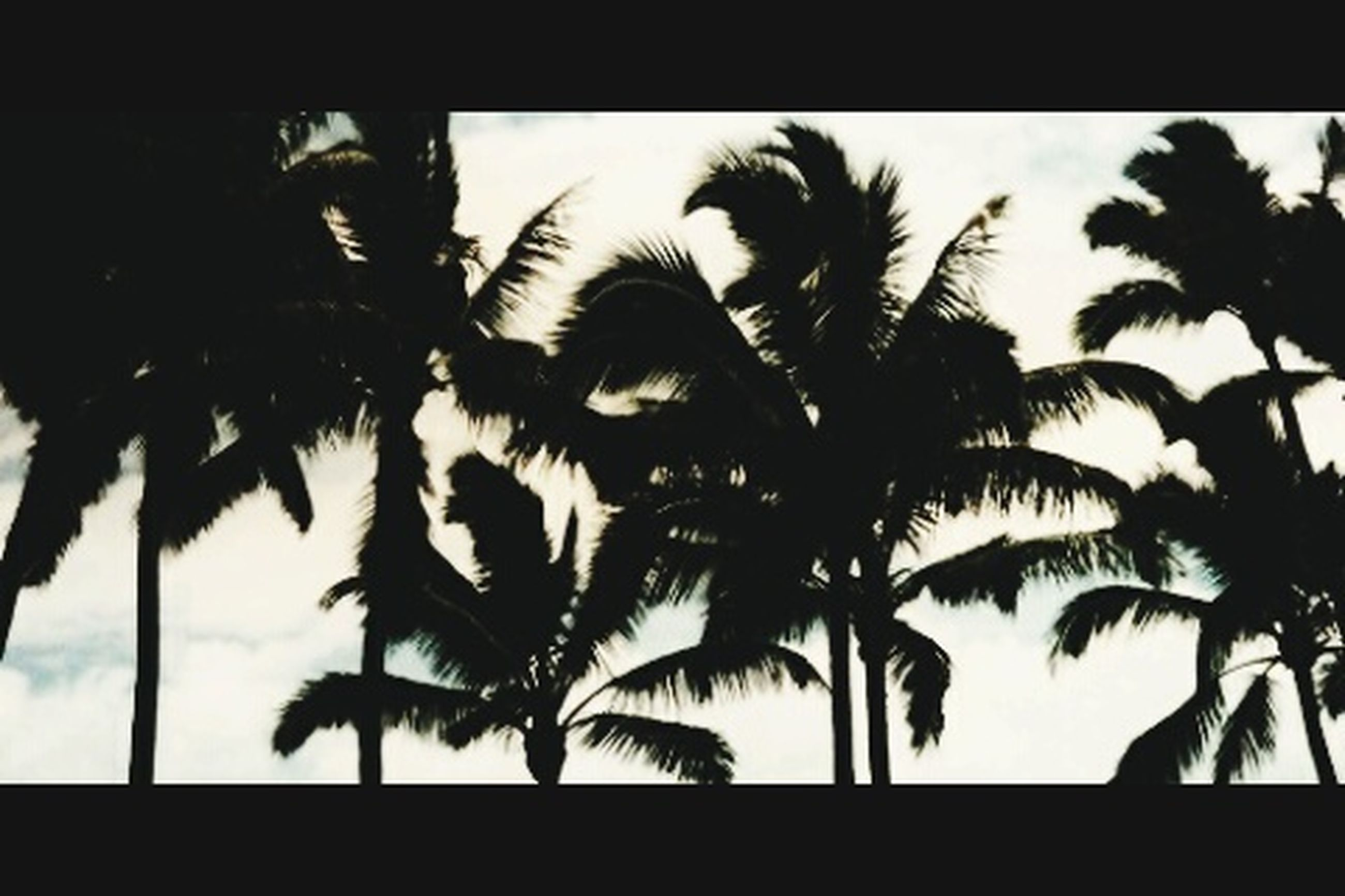 palm tree, transfer print, low angle view, tree, growth, silhouette, auto post production filter, sky, nature, leaf, tree trunk, branch, beauty in nature, coconut palm tree, tranquility, palm leaf, outdoors, no people, day, clear sky