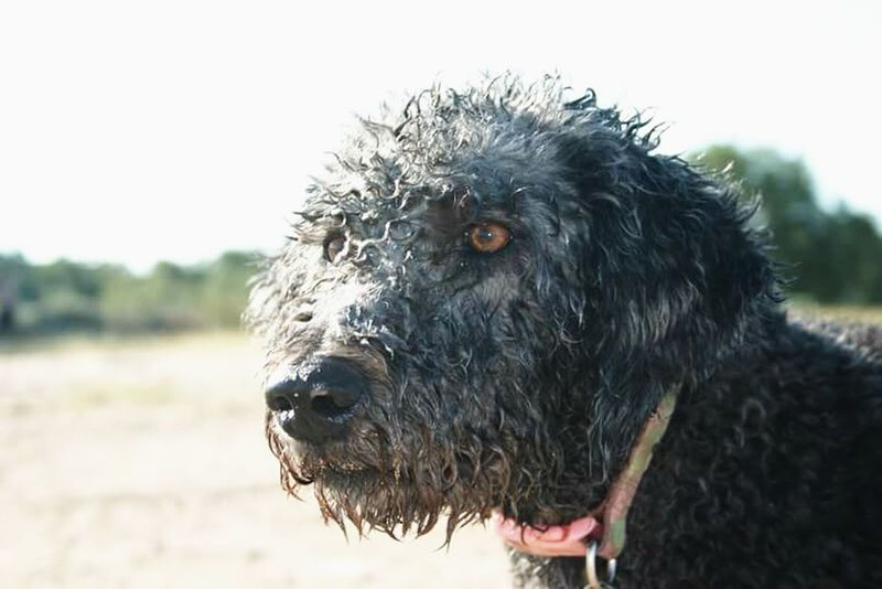 Labradoodle Dog Close-up Dog Portrait Dog❤ Dogs Dogs Of EyeEm Close Up Nature Close To Nature Evening Glow Evening Light Close Up Photography Closeupshot Nature Closeup Nature_collection Close-up Close Up