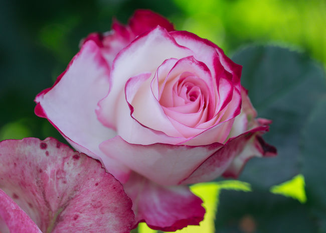 Growth Love Symbol Olympus Blooming Blossom Bokeh In Background Bokeh Photography Close-up Edithnerophotography Flora Flower Flower Head Focus On Foreground Fragile Beauty Fragility Garden Garden Photography Nature One Flower Head Outdoor Photography Petal Romantic Scenery Rose - Flower Rose Head Rosé