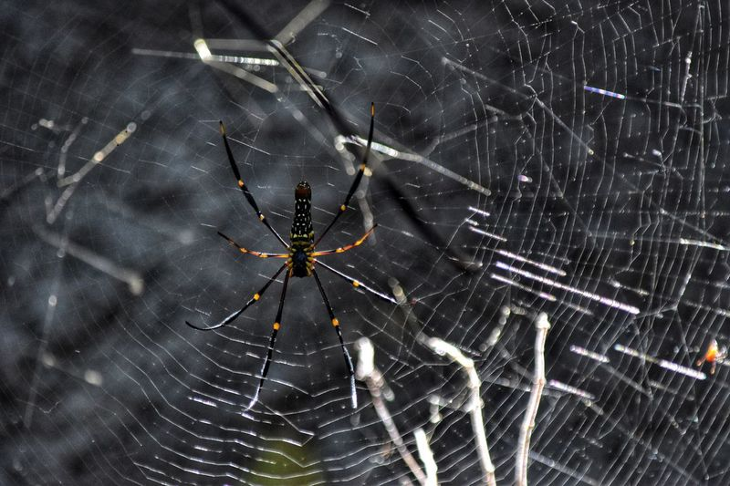 Spider - Lombok Indonesia Big Spider Spider Fragility Close-up Spider Web No People Arachnid Arthropod