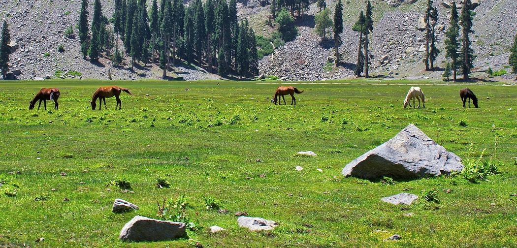 Amazing Pakistan Horses Stalion Wild Horse Agriculture Animal Animal Themes Animal Wildlife Domestic Domestic Animals Field Grass Grazing Horse Land Landscape Livestock Mammal Outdoors Plant