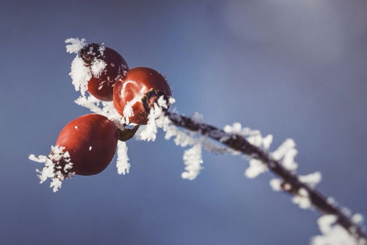Rose Hip Nature Plants Plant No People Cold Frozen Frosty Frost Ice Winter My Winter Favorites