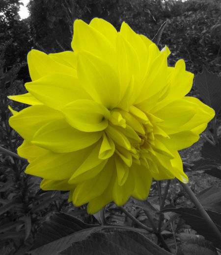 Yellow. Beauty In Nature Blooming Close-up Day Flower Flower Head Fragility Freshness Growth Nature No People Outdoors Petal Plant Yellow