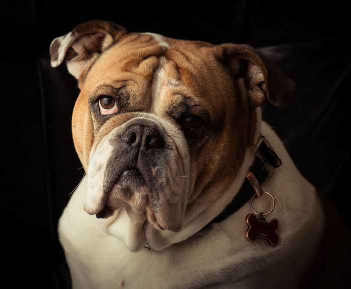 Animal Head  Animal Themes Black And White Portrait Bulldog Bulldog Eyes Bulldogs Comfortable Dog Dogs Domestic Animals English English Bulldog EnglishBulldog Home Indoors  Looking At Camera Pet Portraits One Animal Pet Portrait Pets Portrait Relaxation Sad Eyes The Portraitist - 2016 EyeEm Awards Wrinkles