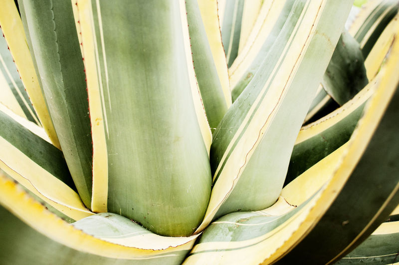 An agave plant on the French coast (Cannes, France) Agave Agave Plant Green Color Close-up No People Succulent Plant Food And Drink Freshness Still Life Cactus Growth Vegetable Nature Day Plant Mediterranean Sea France Cannes, France Arid Landscape Arid Climate Yellow Color EyeEm Nature Lover Tree Warm Eyyem Photography