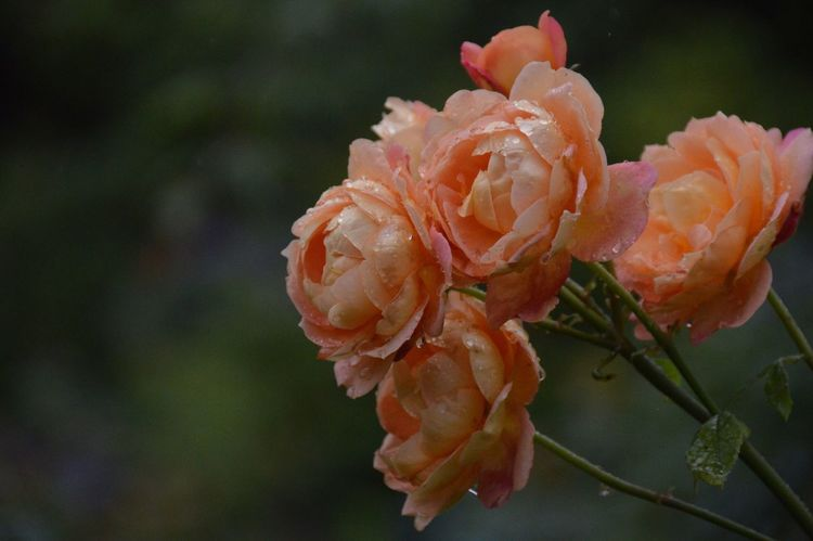 Rose🌹 Roses RainyDay Selective Focus Focus On Foreground Getting Inspired Beauty In Nature Nature Photography Garden Photography Flowers Garden Exceptional Photographs Outdoors Nature The Purist (no Edit, No Filter) Nikon D3200 Japan
