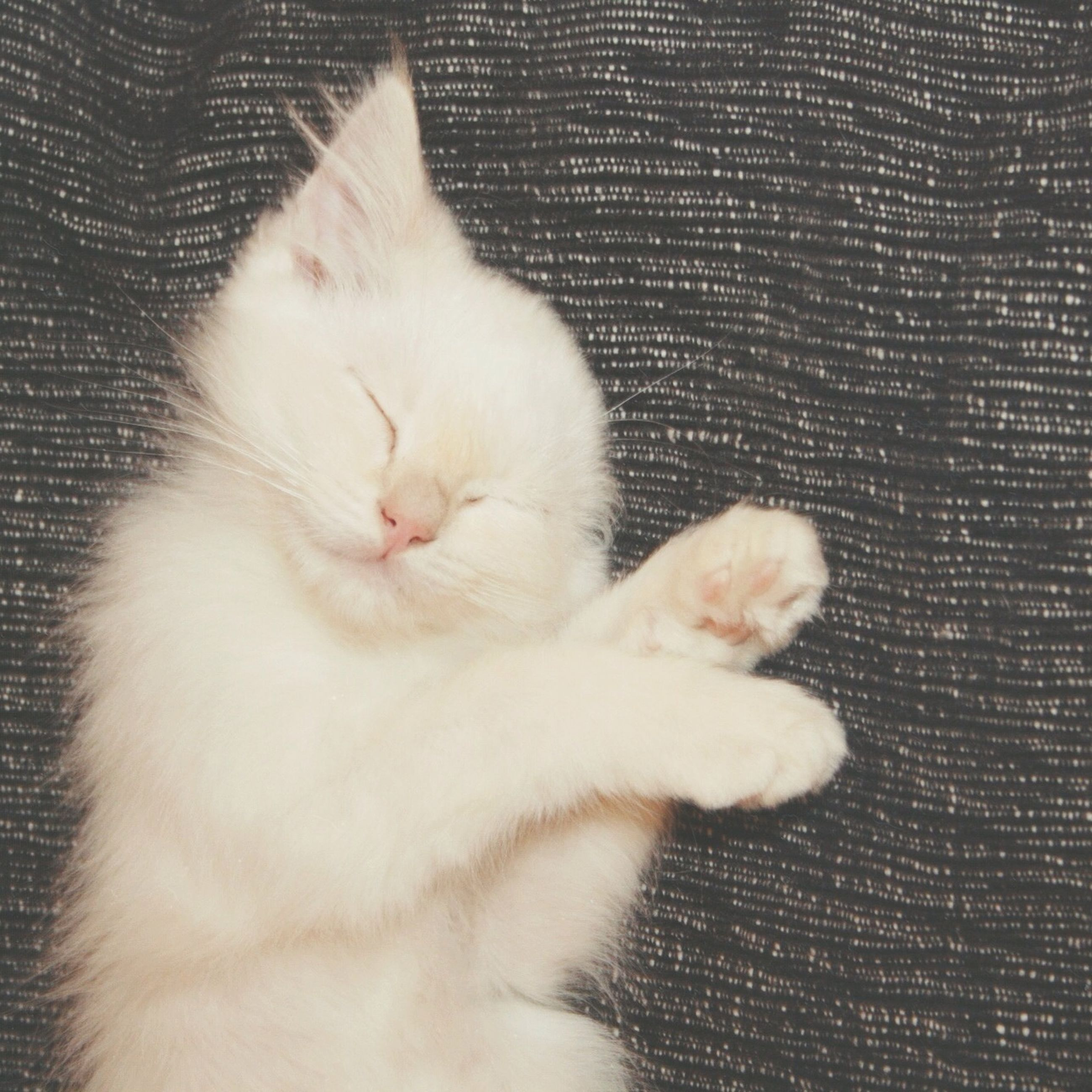 domestic cat, cat, pets, feline, domestic animals, animal themes, one animal, mammal, indoors, whisker, relaxation, white color, sleeping, close-up, resting, eyes closed, lying down, animal head, no people, white