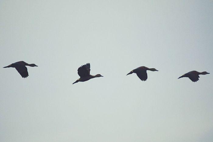 YOUR WINGS ALREADY EXIST. ALL YOU HAVE TO DO IS FLY. #อรุณเบิกฟ้านกกาโบยบิน #เป็ดแดงมีปลายปีกดำ #แด่หัวใจเเละปีกเเห่งเสรี #บิน #ฟ้ามืดมัวหม่นเมฆฝนครึ้มดำ #ภาพไม่คมอารมณ์ต้องได้ Fly Wildlife & Nature