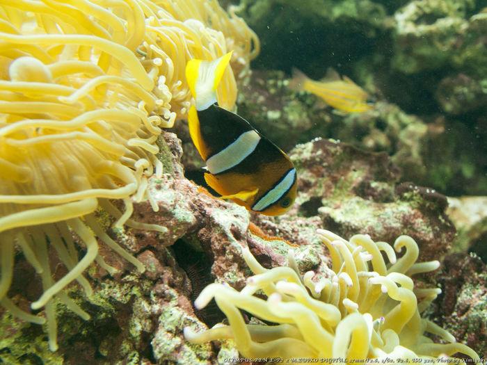 クマノミ Aquarium Fish