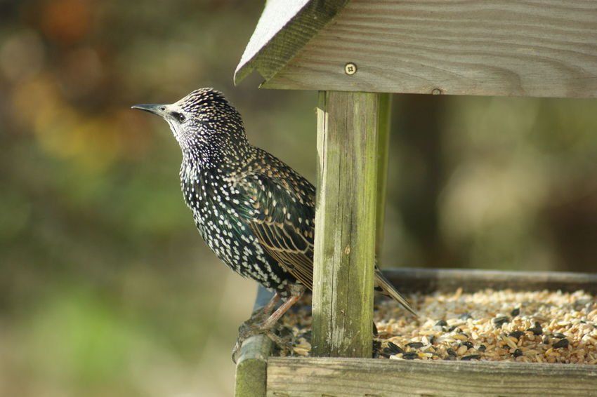 Animal Themes Animal Wildlife Animals In The Wild Bird Close-up Day Focus On Foreground Nature No People One Animal Outdoors Perching Starling Wood - Material