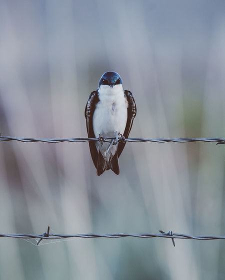 Close-up of bird perching on barbed wire fence
