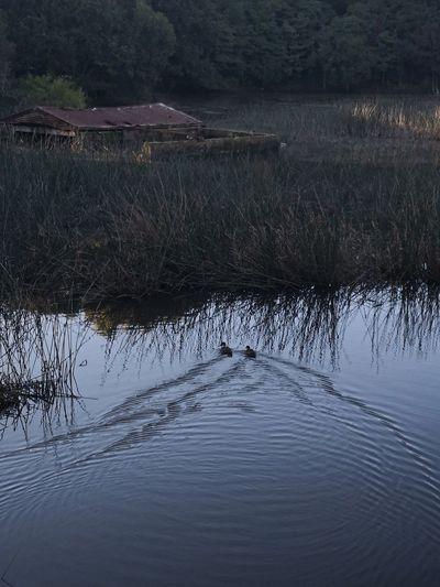 Ducks Hometime Water Reflection