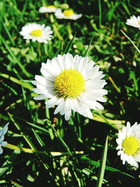 Frühling Frühlingsbote Gänseblümchen
