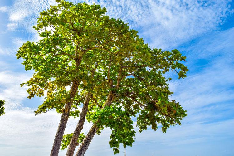 Mango tree full