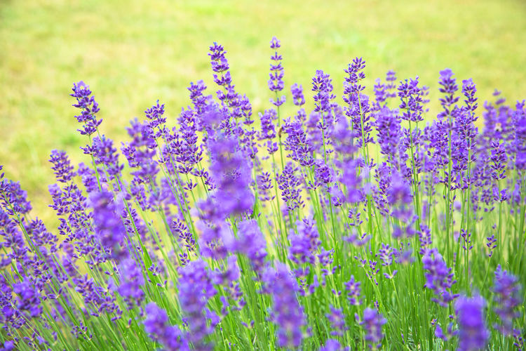 Grass Beauty In Nature Blossoms  Blurred Background Botany Close-up Day Field Flower Flowerbed Flowering Plant Fragility Freshness Growth Land Lavender Lavender Blossoms Lavender Colored Lavenderflower Nature No People Purple Selective Focus Springtime Vulnerability