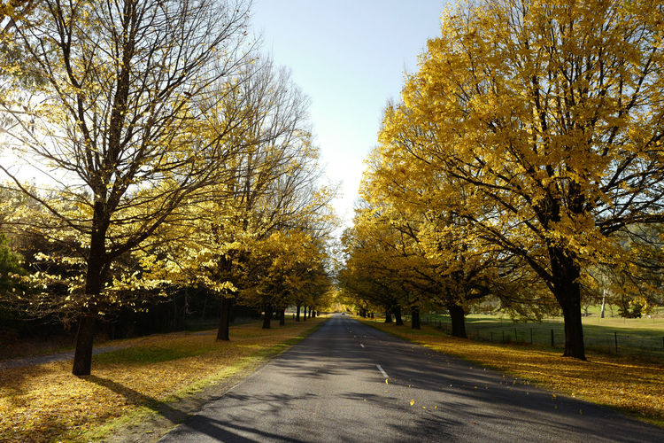 Shot at Bright, Victoria in autumn. Autumn Beauty In Nature Branch Change Clear Sky Day Leaf Nature No People Outdoors Road Scenics Sky Sunlight The Way Forward Tranquil Scene Tranquility Tree