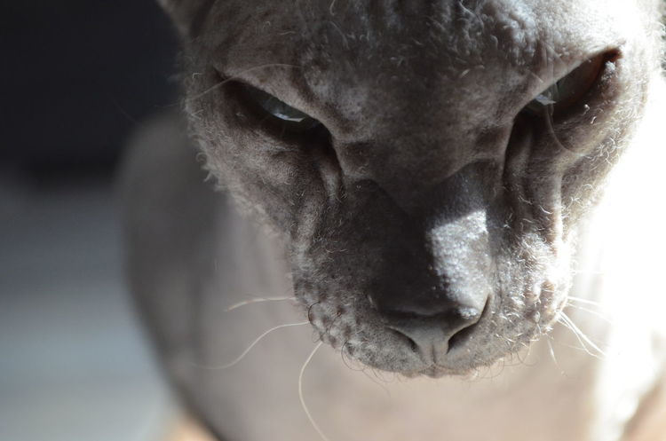 Animal Head  Animal Nose Animal Themes Cats Of EyeEm Close-up Domestic Animals Don Sphynx One Animal Pets Sphynx E.T Allien Beautiful Allien Welcome To Black The Portraitist - 2017 EyeEm Awards Pet Portraits