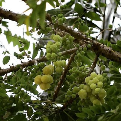 "The ""Ceremai"" gooseberry fruits. Fruitsloversrd Fruits Plant Green_green"