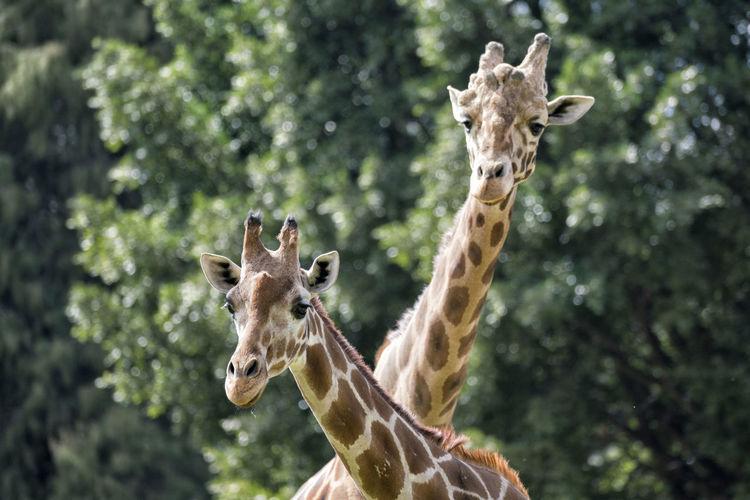 Close-up portrait of giraffe standing on tree