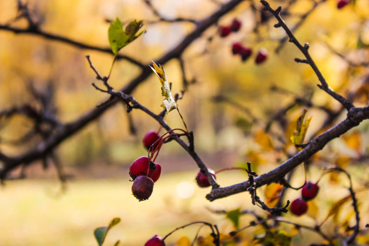 Autumn Autumn Colors Autumn🍁🍁🍁 Beauty In Nature Branch Close-up Day Flower Focus On Foreground Food Food And Drink Freshness Fruit Georgia Growth Healthy Eating Nature No People Outdoors Red Rose Hip Tree Twig