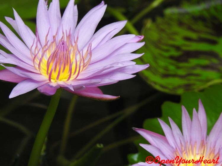 Freshness Growth Green Color Marco High Angle View 3XSPUnity 3XSPhotographiUnity 3XSPhotography Travelling Thailand Plant Pink Flower Day No People Outdoors Leaf Close-up Fragility Beauty In Nature Petal Blossom Flower Head Flower Waterlilypond Waterlily 🌷 Pollen
