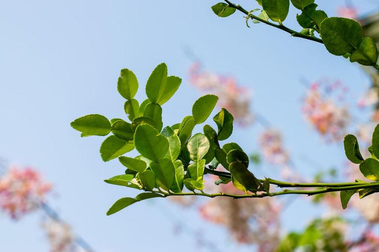 Bergamot green