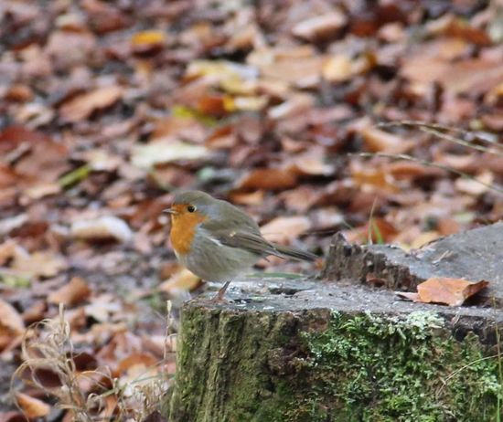 Bird Oiseaux Forrest Rouge Gorge Robin Redbreast Perching One Animal Animal Wildlife Animals In The Wild Animal Themes