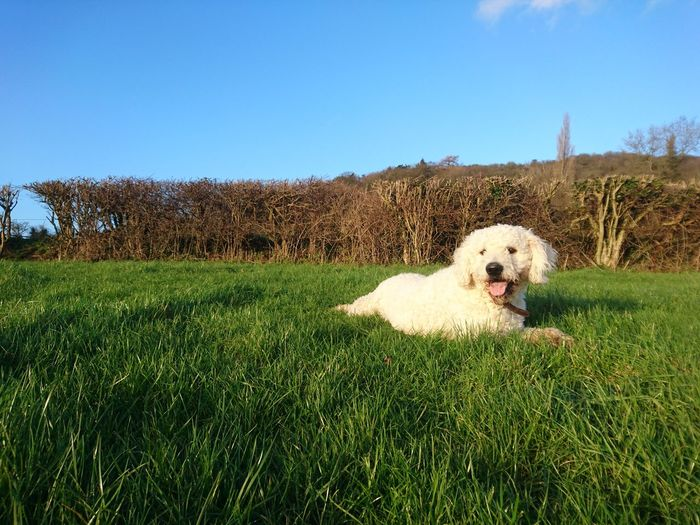 Doodle dog relaxing on grassy field against sky