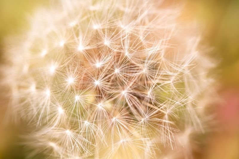 Close-up Dandelion Fragility No People Nature Vulnerability  Plant Selective Focus Flower Softness Beauty In Nature Backgrounds Flowering Plant Full Frame Freshness White Color Outdoors Abstract Macro