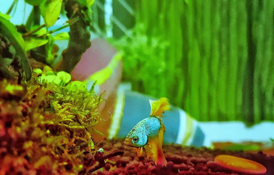 Beauty In Nature Nature Close-up Bettafishcommunity Aquarium Photography Aquarium Underwater Betta Lovers Bettafish Bettasplendens Bettasiamesefish Pets Swimming Betta Fish