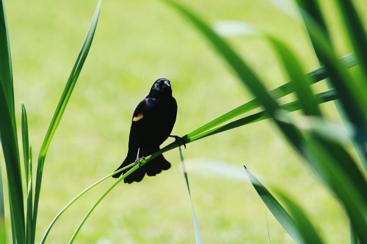 Black bird on reeds on lake One Animal Animal Themes Animals In The Wild Bird Animal Wildlife Perching No People Green Color Nature Focus On Foreground Day Black Color Outdoors Close-up Beauty In Nature Raven - Bird