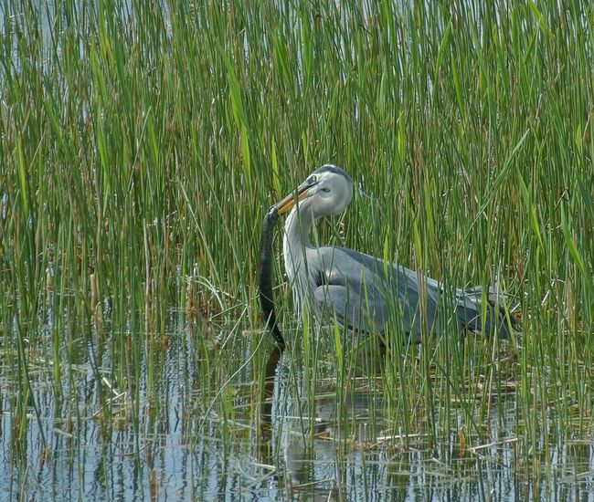 Amazing Creatures Wildlife Photography Aquatic Life Hunterforce By The Lake In The Woods Original Expiriences Looking For Food Water Reflections Reflections And Shadows Bird Photography Heron Fishing